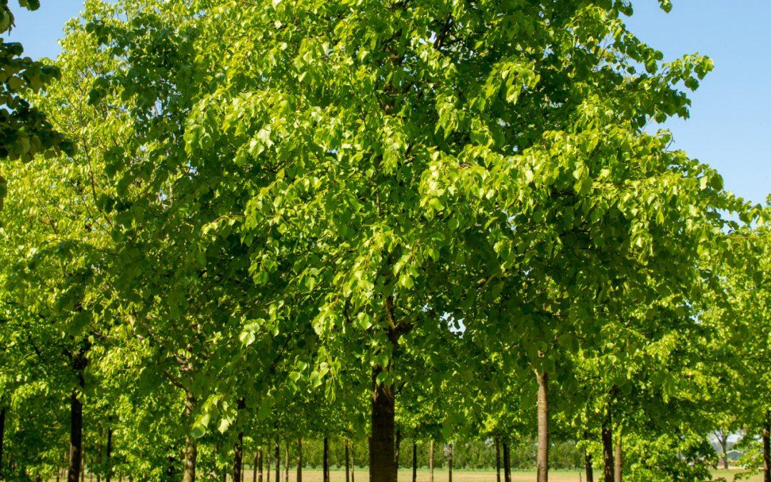 Geschonken grote koningslinde Spoorpark wordt donderdag geplant
